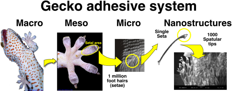 an understanding of the strong adhesive properties of the gecko Significant progress has been made in understanding the attachment and detachment mechanisms and the fabrication of articulated gecko-inspired adhesives and structured surfaces this article reviews the direct experiments that have investigated the properties of gecko hierarchical structures, ie, the feet, toes, setae, and spatulae, and the.